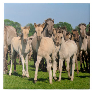 Wild Herd Grullo Color Dulmen Horses Foals Photo / Tile