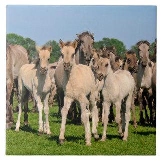 Wild Herd Grullo Color Dulmen Horses Foals Photo / Tiles
