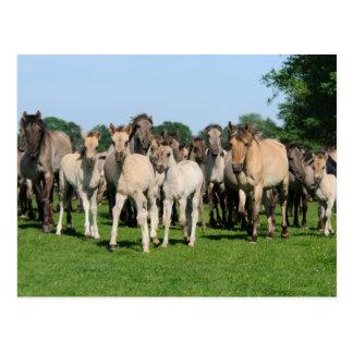 Wild herd of Duelmen Ponies with foals. Postcard