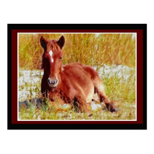 Wild Horse Foal Postcard