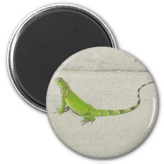 Wild Iguana Refrigerator Magnets