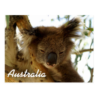 Wild koala sleeping on eucalyptus tree, Australia Postcard