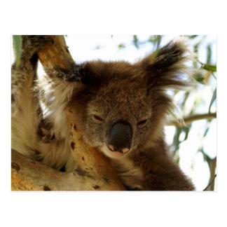 Wild koala sleeping on eucalyptus tree, Photo Postcard