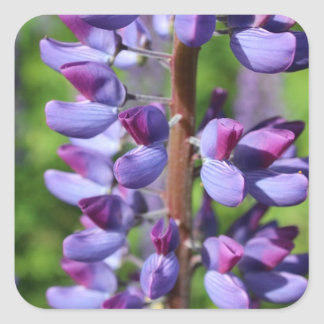Wild Lupine Stickers