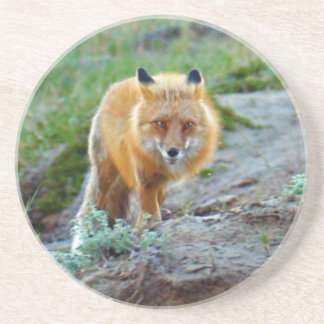 Wild Red Fox Vixen Wildlife Photo Art Coaster