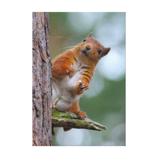 Wild Red Squirrel in the Scottish Highlands Photo Canvas Print