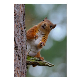 Wild Red Squirrel in the Scottish Highlands Photo Poster