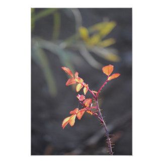 Wild Rose in Autumn Poster