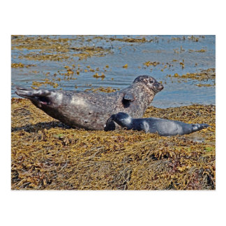 Wild Seal with Pup Animal Scottish Highlands Postcard