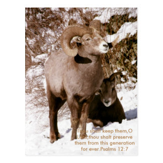 Wild sheep and bible verse postcard