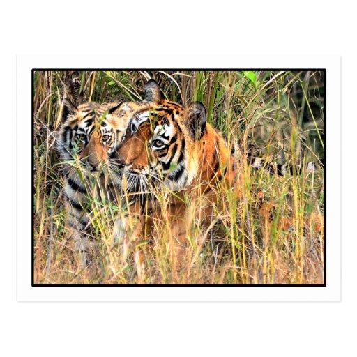 Wild Tigress & Cub Postcard