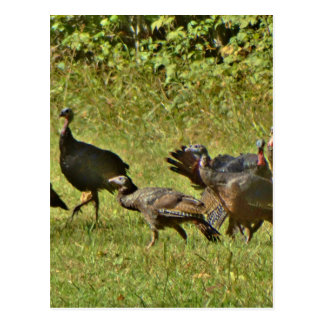 Wild Turkey, Camouflage colors Postcard