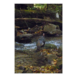 Wild Turkey Crossing A Stream Poster