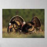 Wild Turkey, Meleagris gallopavo,males Poster