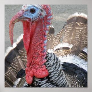 Wild Turkey Picture Poster