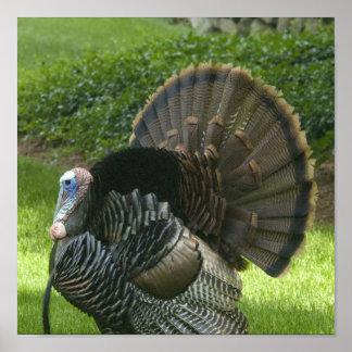 Wild Turkey Poster Print
