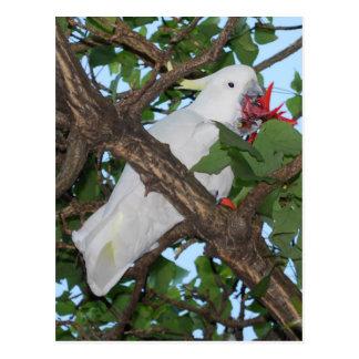 Wild White Cockatoo Parrot Postcard