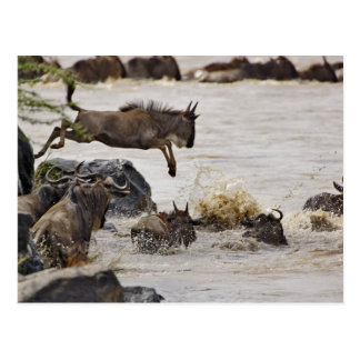 Wildebeest jumping into Mara River during Postcard