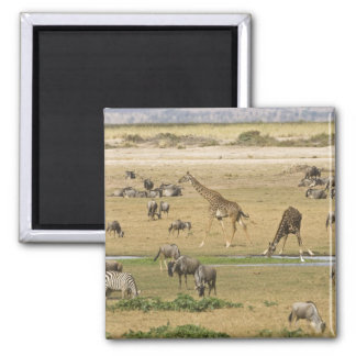 Wildebeests, Zebras and Giraffes gather at a Square Magnet