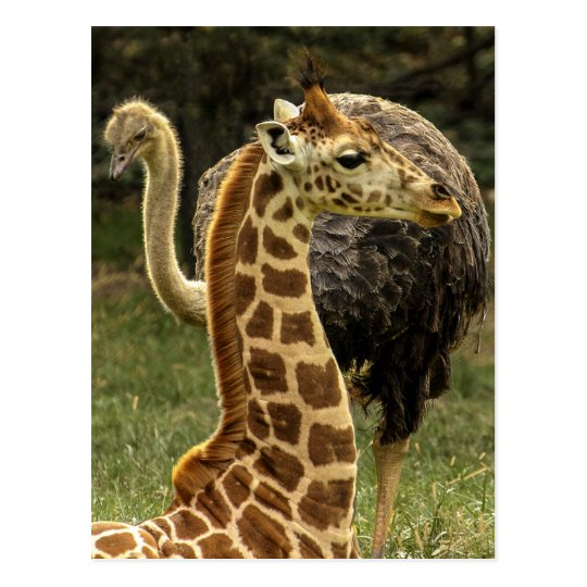 Wildlife Photo of Giraffe and Ostrich Postcard