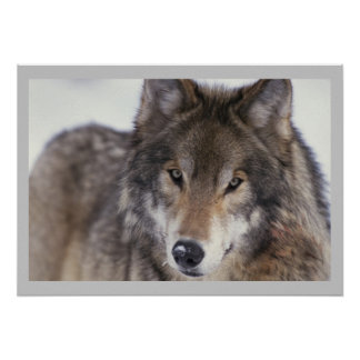 Wildlife Photography Gray Wolf Poster 18x24