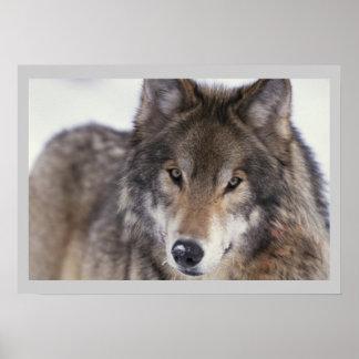 Wildlife Photography Grey Wolf Poster 18x24