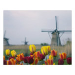 Windmills and tulips along the canal in