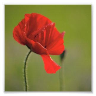 Windswept Poppy Photographic Print