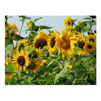 Windy Sunflowers Postcard