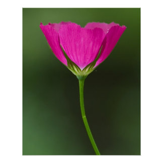 Winecup Wildflower Poster