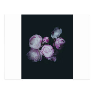 Wink Rose Buds dark background Postcard