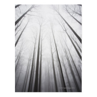 Winter forest in mist, New Jersey Postcard
