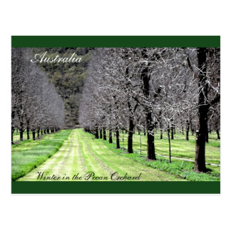 Winter in the Pecan Orchard Postcard