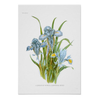 Winter Irises Poster