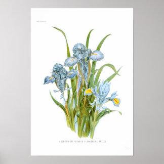 Winter Irises Posters