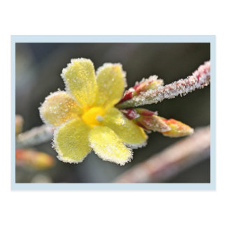 Winter jasmine postcard