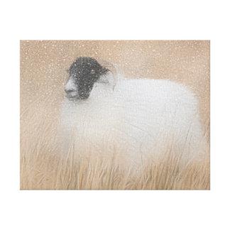 winter Moorland sheep photograph canvas