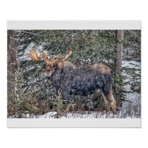 Winter Moose Poster