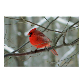 Winter Red Cardinal Poster