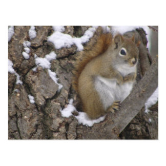 Winter Red Squirrel Postcard