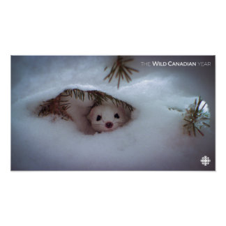 Winter - Short-Tailed Weasel Poster