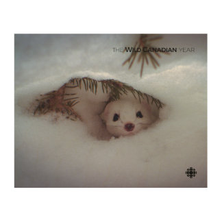Winter - Short-Tailed Weasel Wood Print
