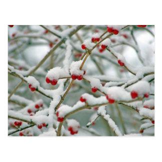 Winter Snow Berries Postcard