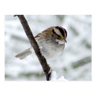 Winter Sparrow Postcard