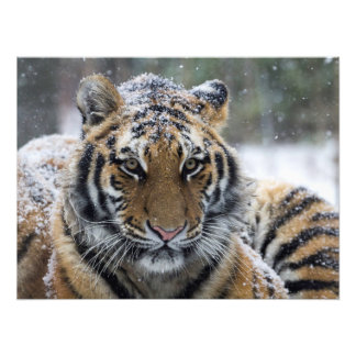 Winter Tiger Face Art Photo