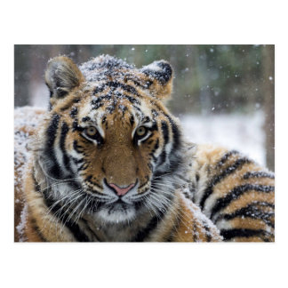 Winter Tiger Face Postcard