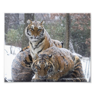 Winter Tigers Art Photo