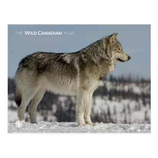 Winter - Wolf Postcard