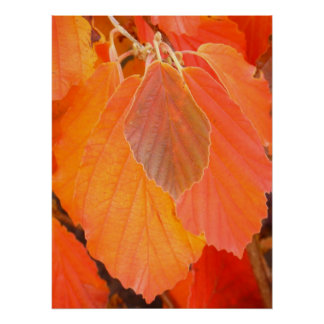 Witch Hazel Leaves Poster