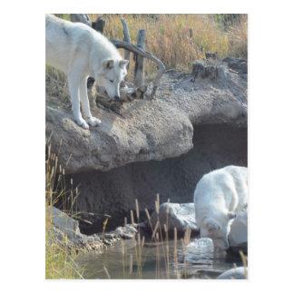 Wolf Animals Peace Love Nature Park Wolves Destiny Postcard